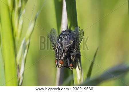 Mating Of Sarcophaga Carnaria Flies On Green Plant. Two Copulating Common Flesh Fly