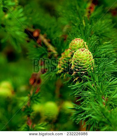 Young Sprouts Green Fir Cones On Blurred Green Needles, Firs And Branches Background Outdoors. Focus
