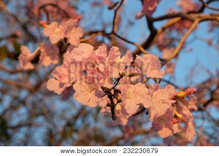 Very Beautiful Of Pink Tabebuia Flower Bunch On The Blurry Trumpet Tree Background With Clear Blue S