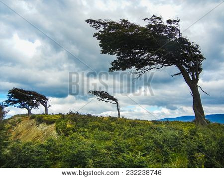 The Wind Shaped Trees In Ushuaia In Tierra Del Fuego Argentina