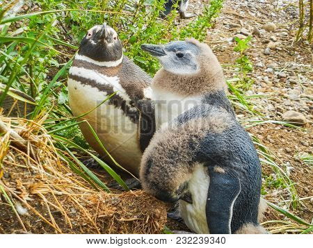 The Magellanic Penguins On The Islands Of Tierra Del Fuego Patagonia Argentina Close Up