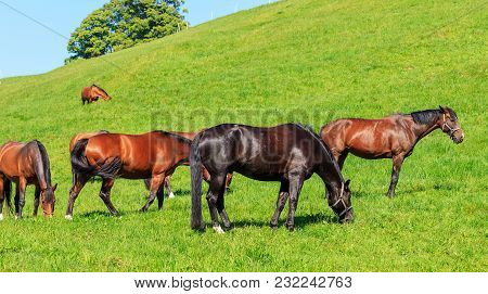 A Group Of Swiss Warmblood Horses Pasturing On Green Grass. The Swiss Warmblood, Also Called The Ein