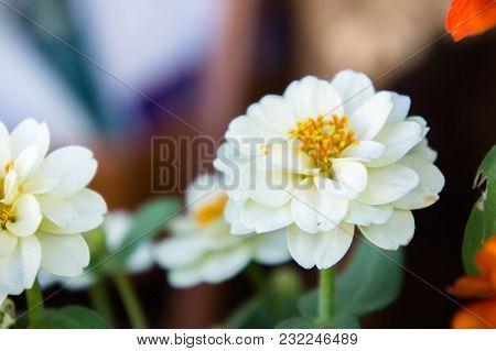 White Daisy Flowers Of Nature Garden Background