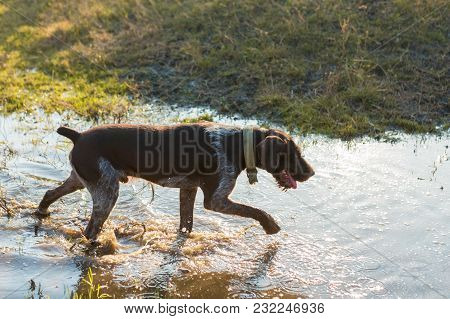 Hunting Dog Resting On The Grass, German Hunting Watchdog Drahthaar