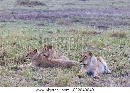 Hunters Are Resting. Lioness In The Savanna. Kenya, Africa