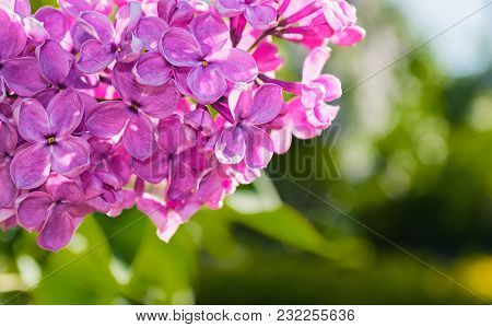Lilac Pink Flowers, Summer Floral Background With Summer Lilac Flowers Blooming In The Summer Garden