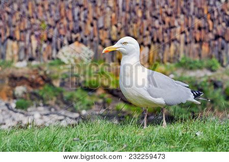 European Herring Gull On A Grass In Summer. One Of The Best Known Of All Gulls Along The Shores Of W