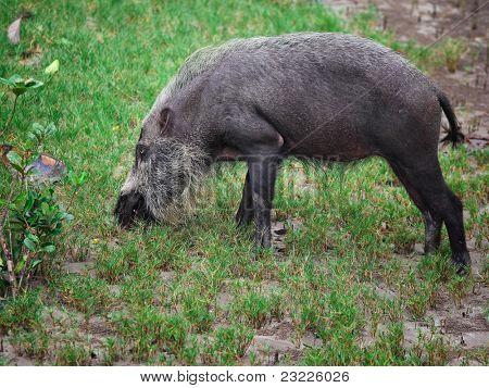bearded pig in borneo bako park,malaysia poster
