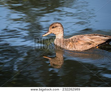 Close-up Of A Gadwall Duck, Also Called Anas Strepera, Casting A Reflection On The Water