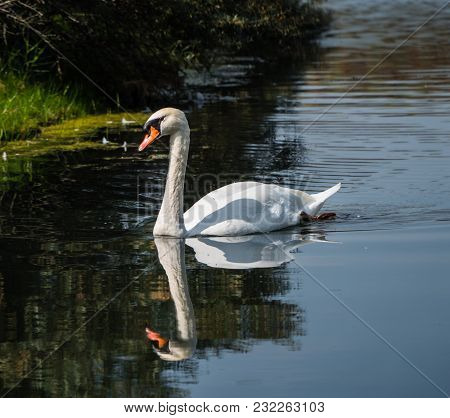 Close-up Of A White Mute Swan, Also Called Cygnys Cygnus, Casting A Reflection On The Water
