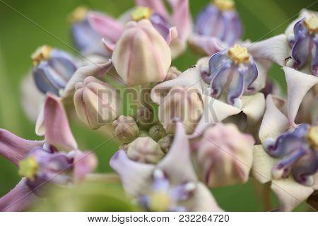 Purple Crown Flower, Giant Indian Milkweed, Giant Milkweed, (calotropis Gigantea L.) And Pod, Seeds