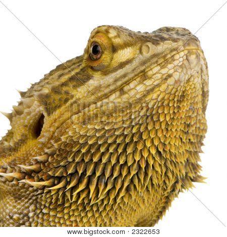 Dragón de Lawson - Pogona Henrylawsoni