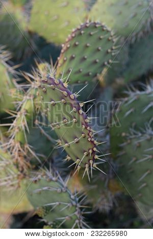 Paddles Of A Prickly Pear Cactus With Spines Protruding.
