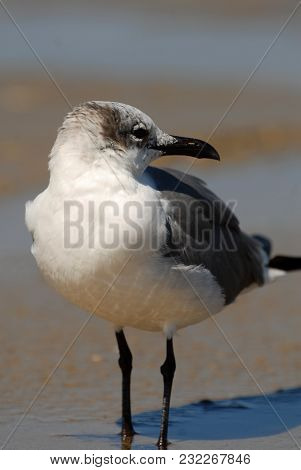 A Seagull Standing In Wet Sand On South Padre Island, Texas.