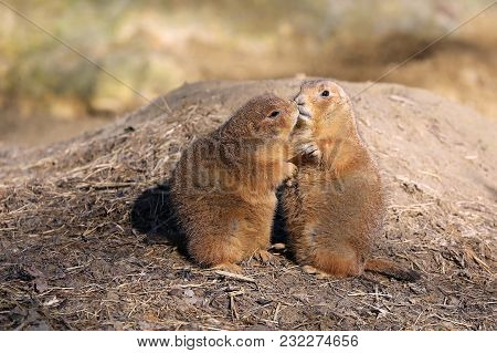 Kissing Prairie Dogs Sitting In The Sand
