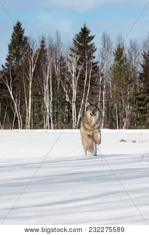 Grey Wolf (canis Lupus) Leaps Forward In Snowy Field - Captive Animal