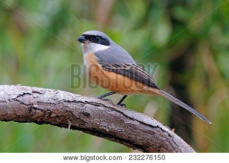 Grey-backed Shrike Lanius Tephronotus Beautiful Birds Of Thailand
