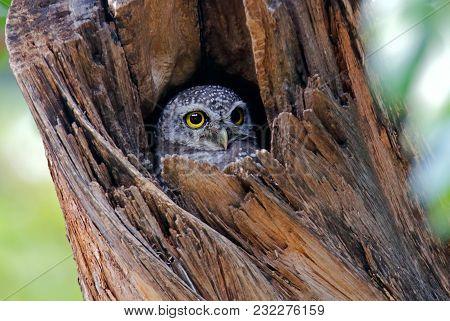 Spotted Owlet Athene Brama Cute Birds In Tree Hollow