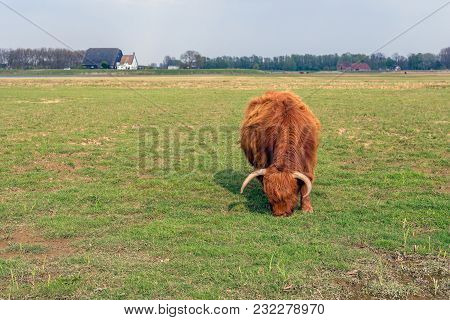 Highland Cow With Horns And Still In A Thick Winter Coat Is Grazing In A Dutch Nature Reserve On A S