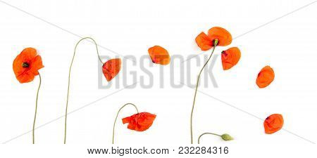 Red Field Poppies Blossoms And Petals On White Background. Top View