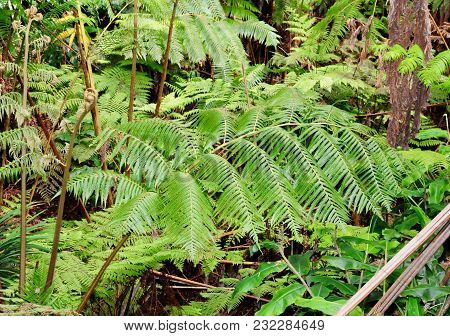 Large Frond Of A Tree Fern In A Tropical Forest On The Big Island Of Hawaii