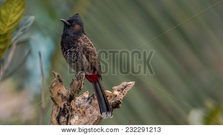 A Red Vented Bulbul (pycnonotus Cafer) Sitting On A Branch Of A Tree