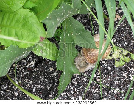 The Snail Crawls Along The Wet Road After The Rain And Suddenly Stops To Eat Green Leaf