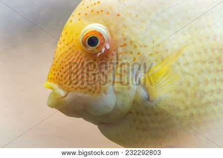 The Gold Parrot Is A Hybrid Of The Midas And The Redhead Cichlid. This Beautiful Hybrid Fish Was Fir