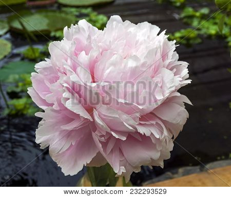 A Beautiful Peony Of Pillow Talk Variety.