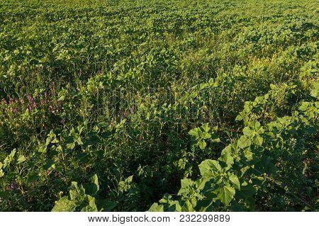 Rows Of Sugar Beetfield. Rural Scene. Crop And Farming