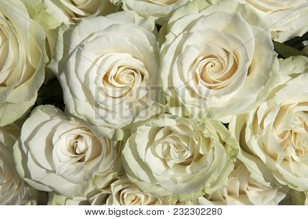 The Vendela Ivory Rose As A Background