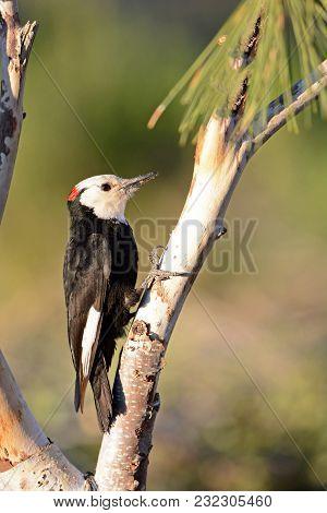 White-headed Woodpecker On A Perch. Male. Oregon, Usa