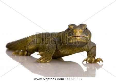 Dabb lagarto - Uromastyx Aegyptia