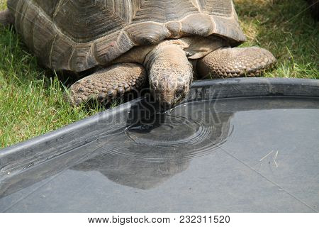 A Large Tortoise Taking A Drink Of Water.