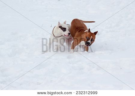Two American Staffordshire Terrier Puppys Are Running On A White Snow. Seven Month Old. Pet Animals.