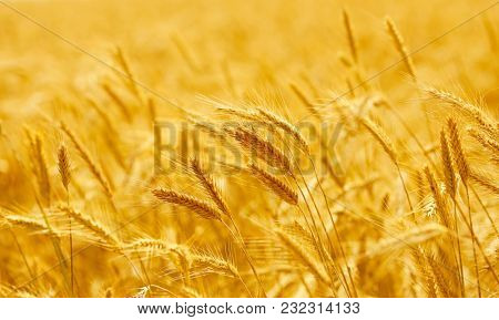 Close up of ripe wheat ears. Beautiful backdrop of ripening ears.  Golden field. Nature background and  blurred bokeh.