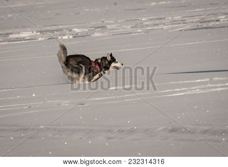 Dog Husky Playing On A Snow Field In Winter