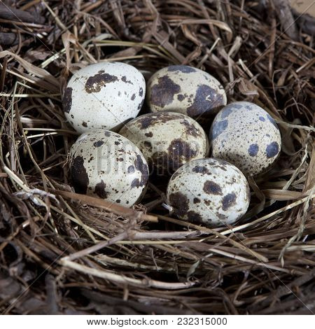Group Of Quail Spotted Eggs In The Grassy