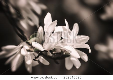 Soft Focus Image Of Blossoming Magnolia Flowers In Springtime With Sun Light. Magnolia Kobus