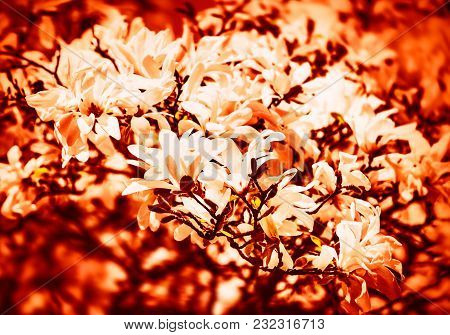Soft Focus Image Of Blossoming Magnolia Flowers In Springtime With Sun Light. Abstract Blurred Flowe