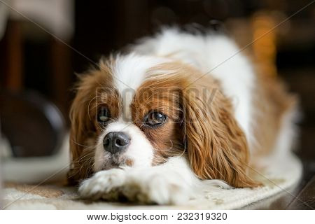 Cute Cavalier King Charles Spaniel Puppy Dog Rescue Shelter