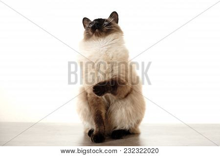 Cute Balinese Cat Sitting On White Background