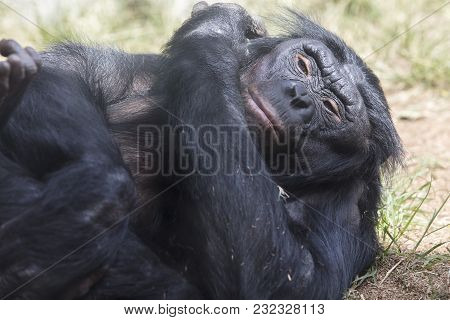 Bonobo Ape Laying On A Grassy Patch Of Dirt