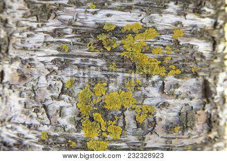 Yellow Algae Growing On Peeling Tree Bark