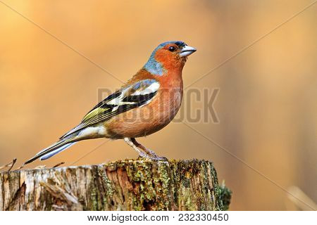 Beautiful Singing Bird Sitting On A Stump In Spring Forest , Wildlife, Animals And Season Change