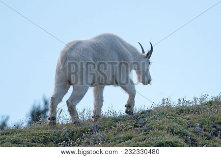 Male Billy Mountain Goat Walking On Hurricane Ridge In Olympic National Park In Washington State Uni