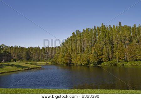Bald Cypress Cluster On Pond