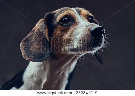A Cute Breed Dog On A Dark Background In Studio.