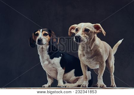 Two Cute Breed Dog On A Dark Background In Studio.