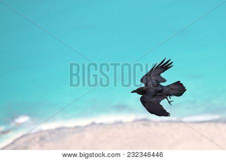 Brown-necked raven (Corvus ruficollis) in flight